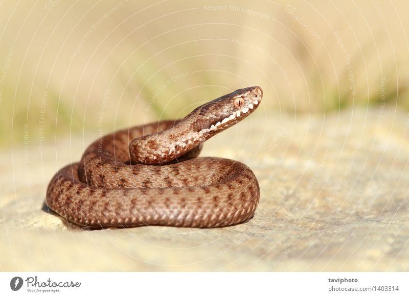 beautiful european common adder Beautiful Nature Animal Wild animal Snake Creepy Brown Fear Dangerous berys Viper vipera Poison venomous Reptiles European
