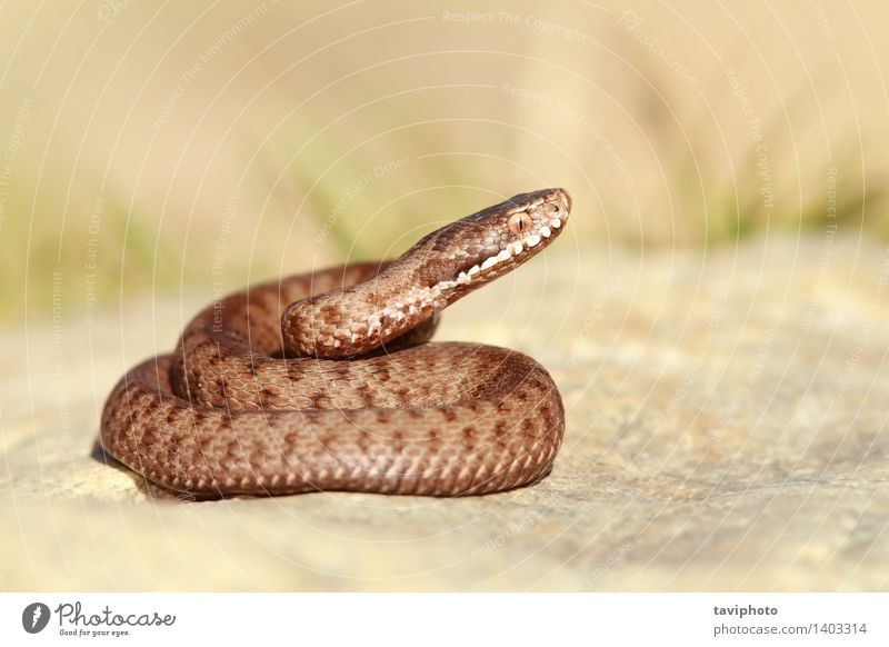 beautiful european common adder Nature Beautiful Animal Brown Wild Fear Wild animal Dangerous Living thing European Creepy Striped Poison Reptiles Snake
