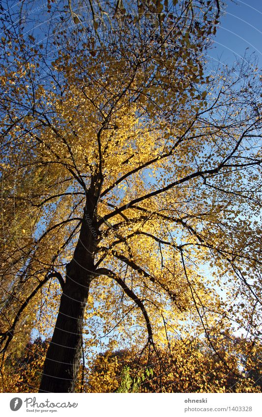 Tree Landscape Leaf Calm Forest Yellow Autumn Contentment Gold Branch Warm-heartedness Beautiful weather Tree trunk Cloudless sky Treetop Patient