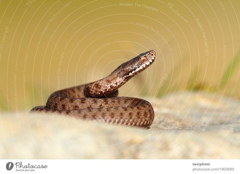 beautiful reptile vipera berus Beautiful Animal Wild animal Snake Natural Brown Gray Dangerous Viper Reptiles poisonous wildlife danger Frightening Zoology