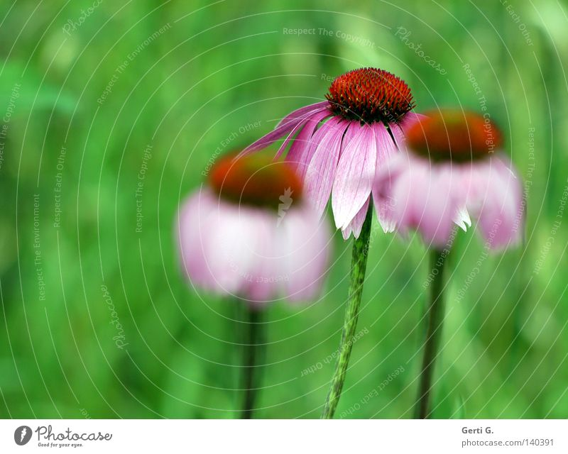 Nature Green Plant Flower Blossom Violet Blossoming Depth of field Blossom leave Daisy Family Rudbeckia Medicinal plant Purple Purple cone flower
