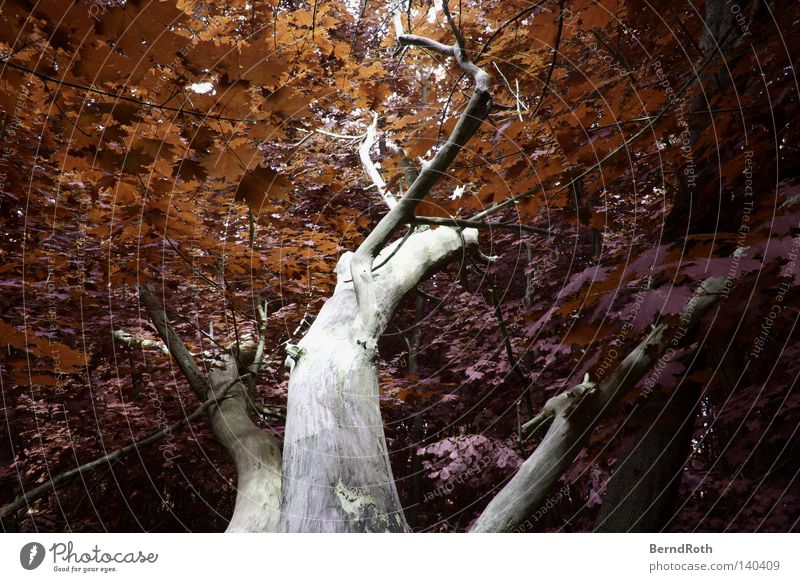 rust bucket Leaf Tree Forest Maple tree Tree trunk Twigs and branches Branchage False coloured