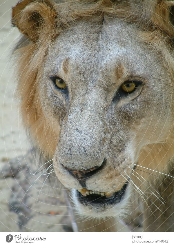 Animal Pelt Wild animal Cat Lion Mane