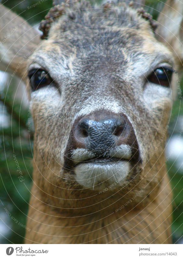 A small deer Small Roe deer Pelt Wilderness Transport