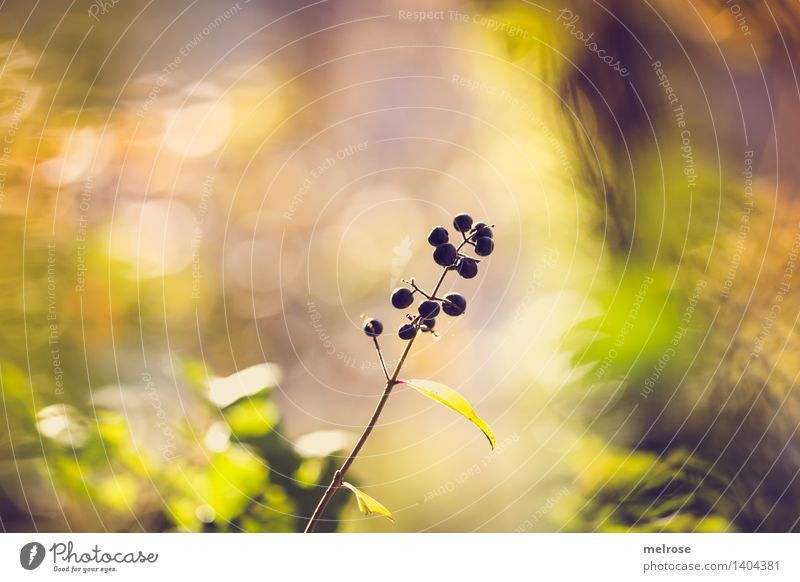Berry Bokeh Elegant Style Environment Nature Sunlight Autumn Beautiful weather Plant Bushes Leaf Wild plant Berry bushes wild berries Forest Blur Shaft of light