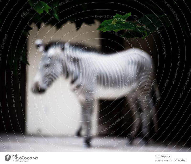 To blur a zebra Zebra Zoo Animal Stripe Striped Mammal Blur