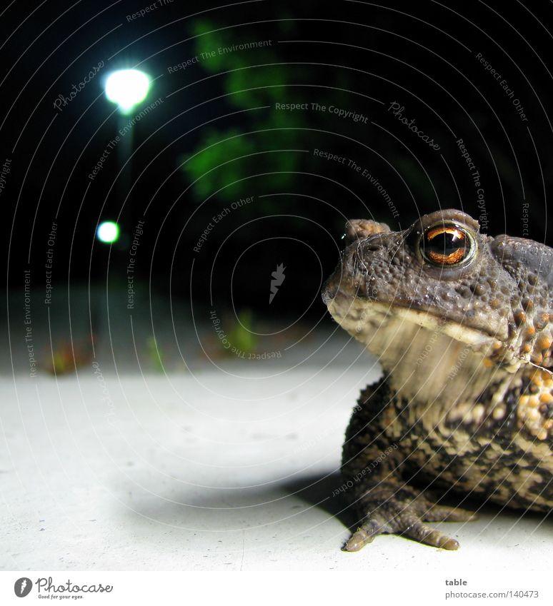 blind date Frogs Amphibian Water Wetlands Eyes Muzzle Snout Sit Hop Jump Skin Gnarled Night Lantern Ground Light Skeptical Meet Far-off places Breathe Quack Joy