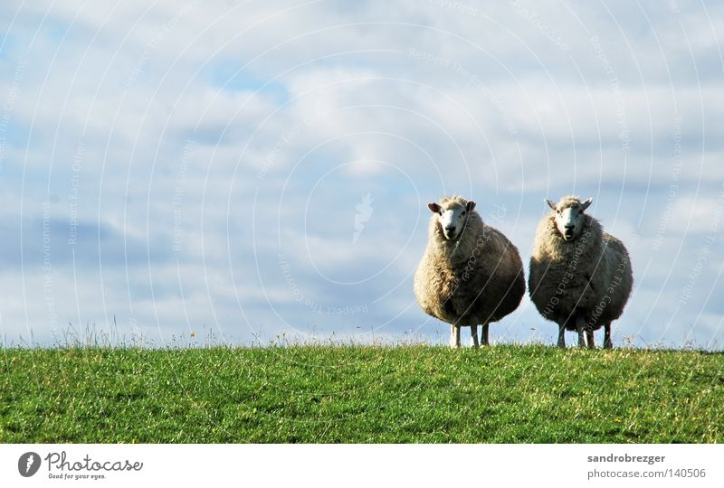 Schaaf Pair Summer Animal Sky Clouds Horizon Spring Beautiful weather Grass Farm animal Pelt 2 Pair of animals Line Stand Fat Free Blue Green White Attentive