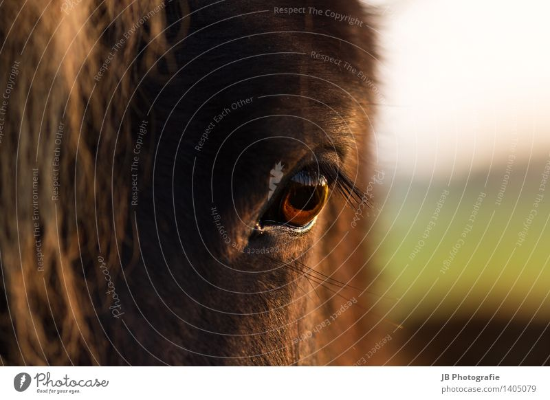 kind? Horse Passion Calm Longing Iceland Pony Icelander Eyes Sunset Autumnal Light Snapshot Loyalty young horse Far-off places Eyelash Colour photo Detail