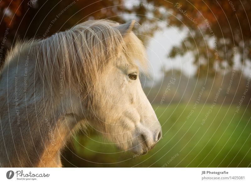 autumn mood Horse Relaxation Dream Happy Contentment Joie de vivre (Vitality) Iceland Pony Icelander Autumn Beam of light Multicoloured Leaf canopy Gray (horse)