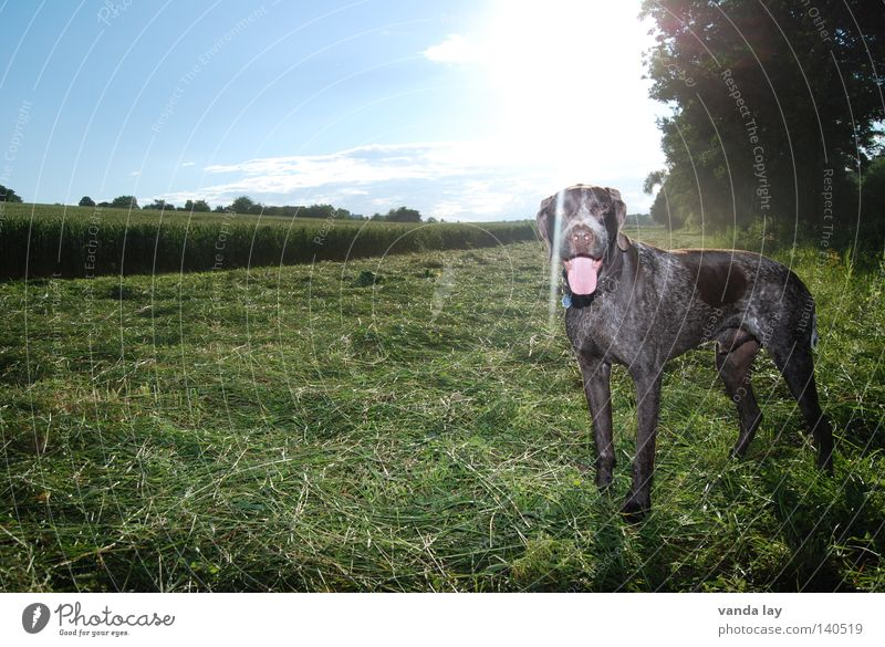 summer sun Hound Dog Hunter Animal Loyalty Best Air To go for a walk Elapse Brown Meadow Grass Bushes Field Green Mammal Neckband Dog tag Back-light Frontal