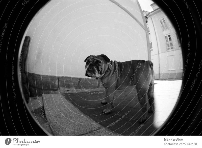 Se acabo... Dog Fisheye House (Residential Structure) Wall (building) Animal Town Bulldog English Window Sidewalk Stand Mammal Black White Neckband Pelt Tails