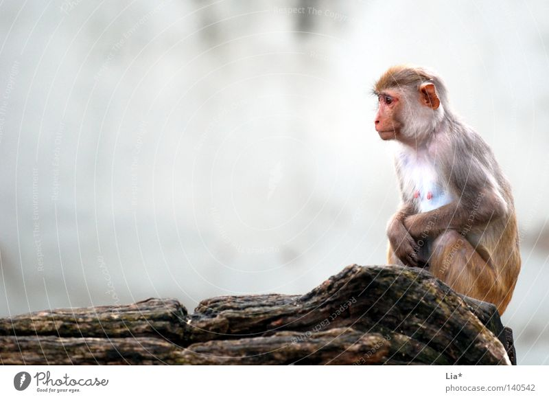 Monkey looks into the distance Think Freeze Sit Sadness Wait Cold Small Gloomy Gray Boredom Grief Loneliness Monkeys Young monkey Vulnerable Defenseless