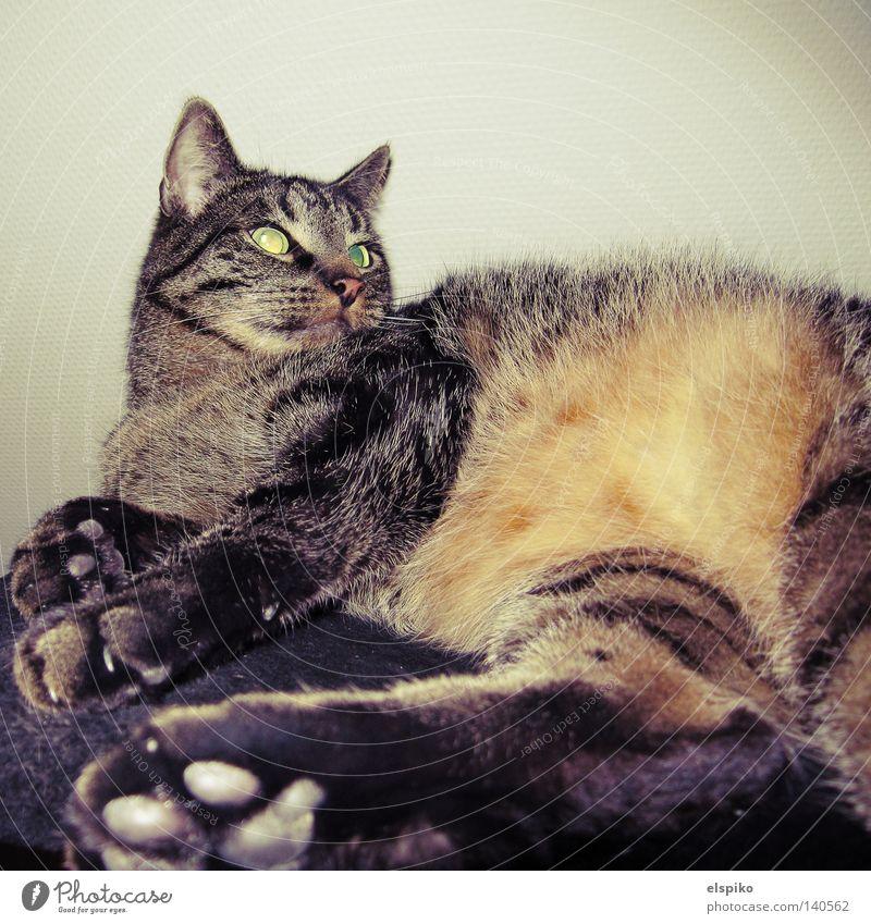 Animal Relaxation Cat Contentment Pelt Mammal Paw Domestic cat Disinterest