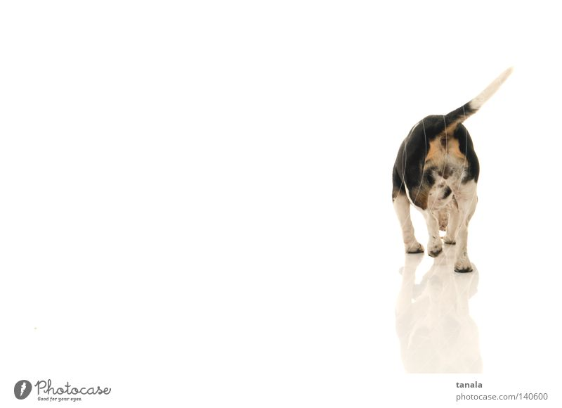 White Dog Hunting Odor Mammal Hunter Hound Beagle Foxhunting