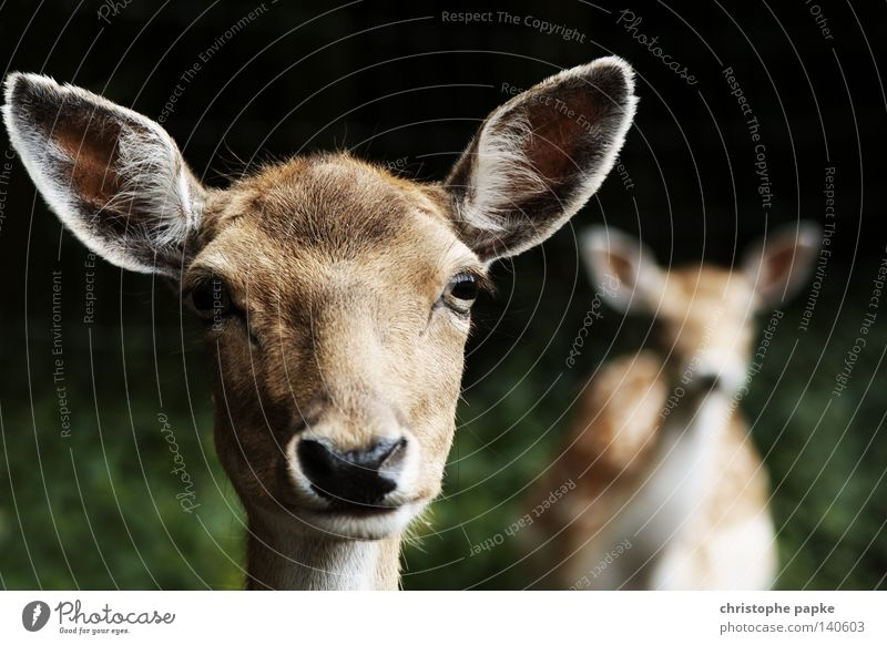 Animal Deer Fear Wild animal Cool (slang) Vension Agriculture Listening Discover Hunting Backward Odor Mammal Caution Hunter