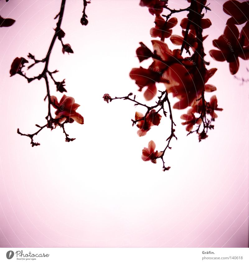 Asia Beautiful Sky White Tree Flower Blossom Lomography Spring Pink Violet Branch Blossoming Fragrance Japan Tulip