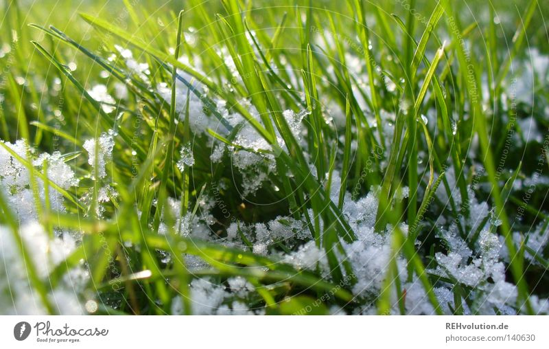 White Green Winter Cold Snow Meadow Grass Spring Bright Wet Lawn Friendliness Damp Blade of grass Snowflake Intersection