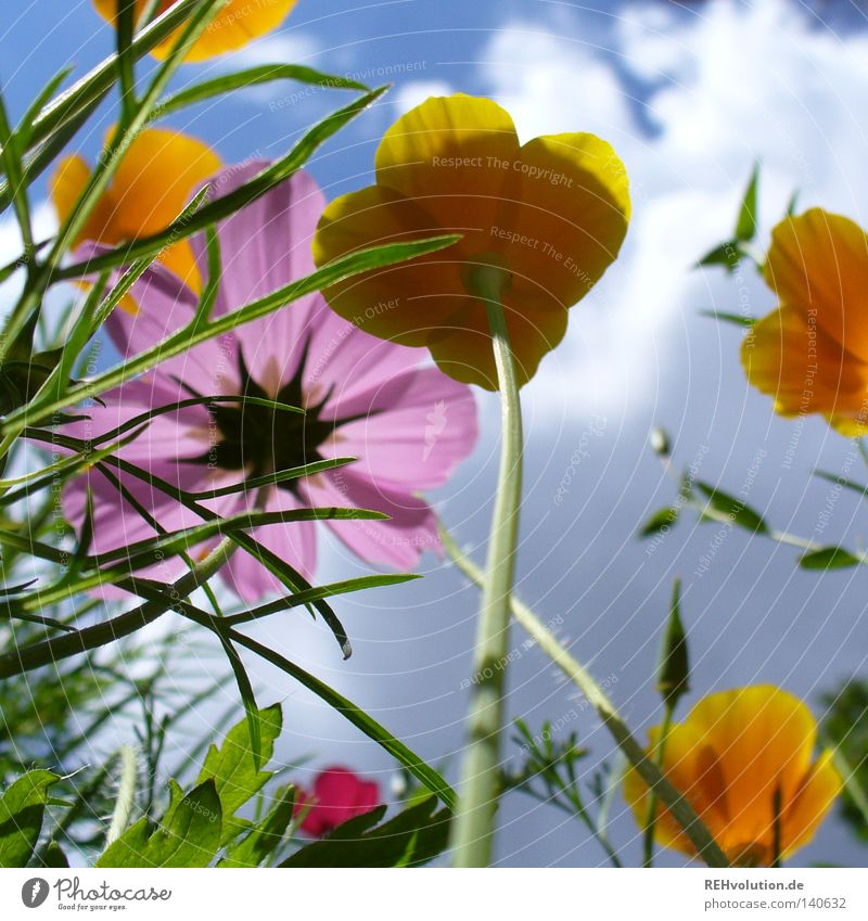 little flowers Flower Meadow Clouds Sky Thunder and lightning Storm clouds Growth Plant Upward Worm's-eye view Aspire Rain Threat Blossom Blossoming Summer