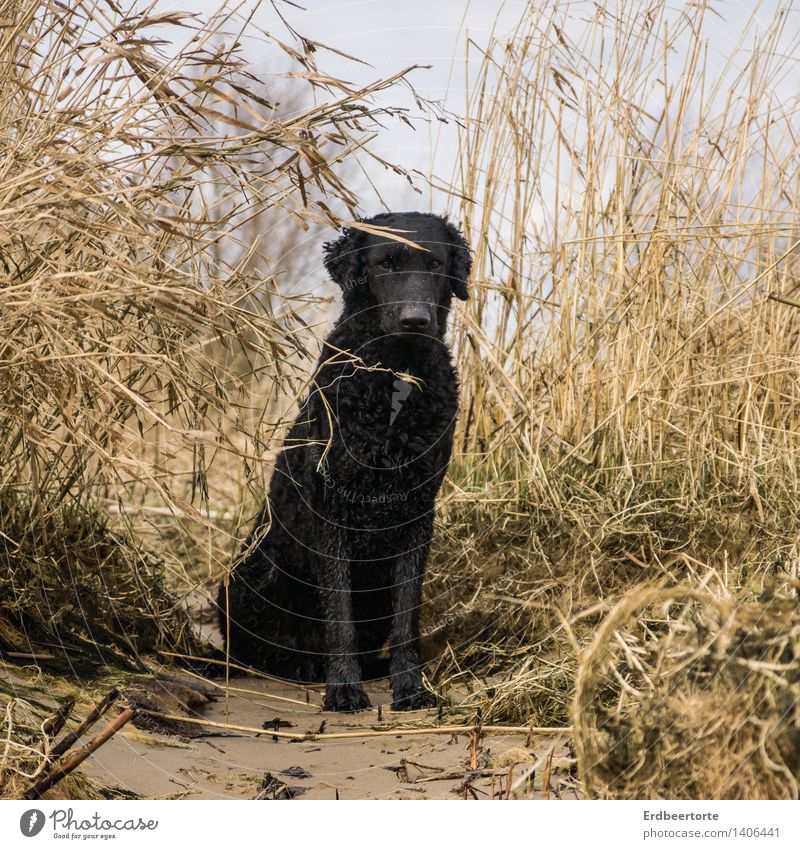 In focus Nature Landscape Autumn Winter Lakeside Beach Bay Animal Pet Dog retriever 1 Observe Sit Black Love of animals Watchfulness Calm Self Control reed
