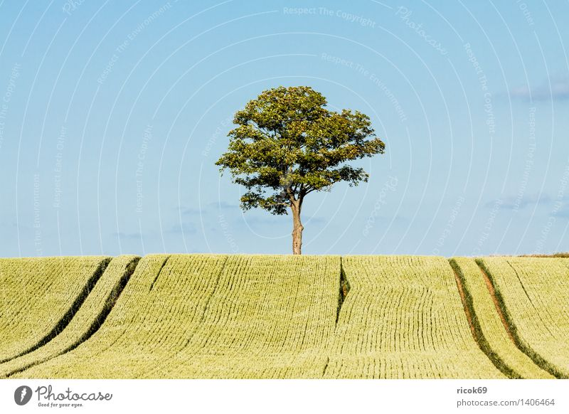 Tree at the edge of the field Grain Agriculture Forestry Nature Landscape Plant Field Blue Green Sky Grain field Mecklenburg-Western Pomerania unattached