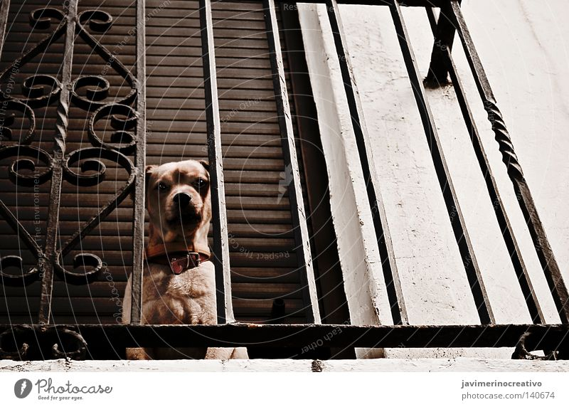 dog Dog Grating Balcony House (Residential Structure) Eyes Shadow Iron Target Animal Solitary Cry Cinnamon Rock