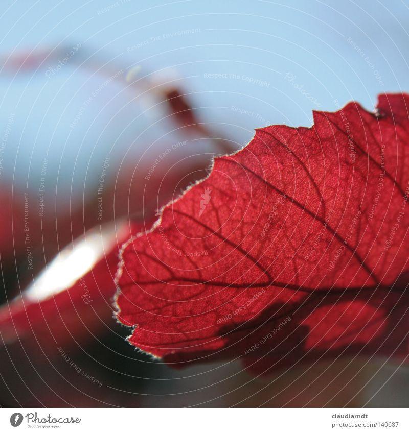 Plant Red Leaf Autumn Rachis Autumnal Leaf filament Flavonoid