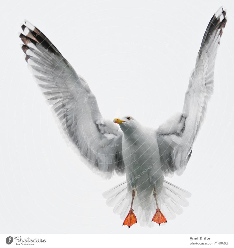 seagull Norway Feather Fjord Flying Bright Sky Cold Ocean Seagull Arctic Ocean Gull birds White Bird waterfowl
