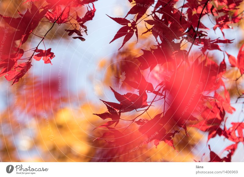 in the meantime ll Environment Autumn Plant Tree Leaf Japan maple tree Garden Park Illuminate Natural Leaf canopy Deserted Shallow depth of field