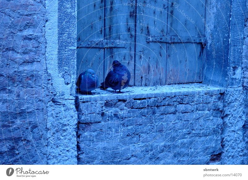 Pigeons in Venice Morning Blue
