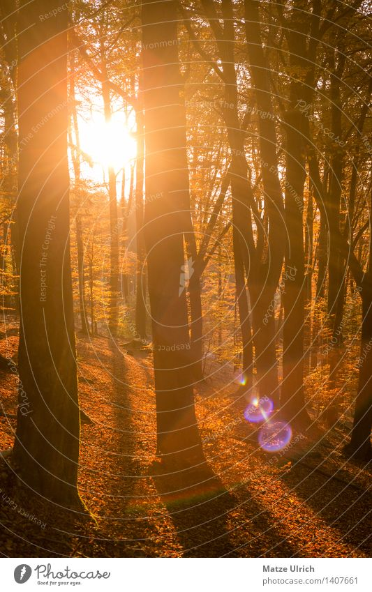 sun forest Environment Landscape Plant Sun Sunrise Sunset Sunlight Autumn Tree Leaf Deciduous tree Deciduous forest Forest Lens flare Beautiful Warmth