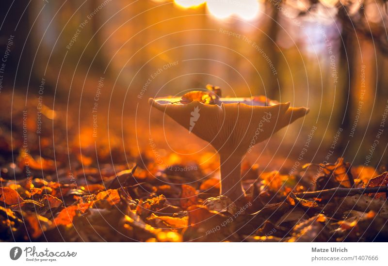 Mushroom in the forest Environment Nature Sun Sunrise Sunset Sunlight Autumn Beautiful weather Wild plant Leaf Forest Warmth Uniqueness wild mushroom