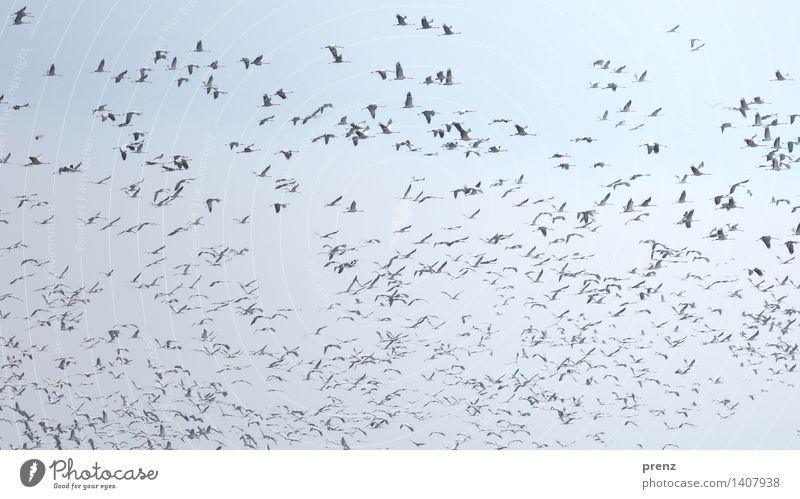 Sky Nature Blue Animal Environment Autumn Flying Bird Wild animal Beautiful weather Floating Flock Crane Stork village Linum