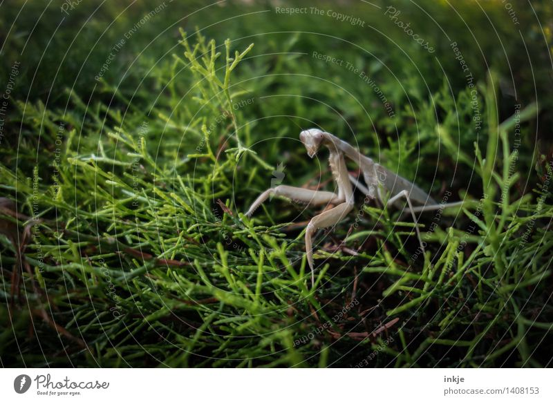The praying mantis on the hedge. Nature Plant Animal Summer Autumn Leaf Foliage plant Garden Park Wild animal Insect ghost insect Locust 1 Observe Crouch