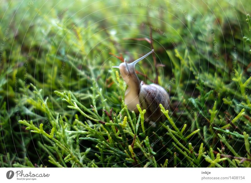 The snail on the hedge. Plant Animal Summer Autumn Foliage plant Garden Park Forest Wild animal Snail 1 Green Nature Crawl Colour photo Exterior shot Close-up