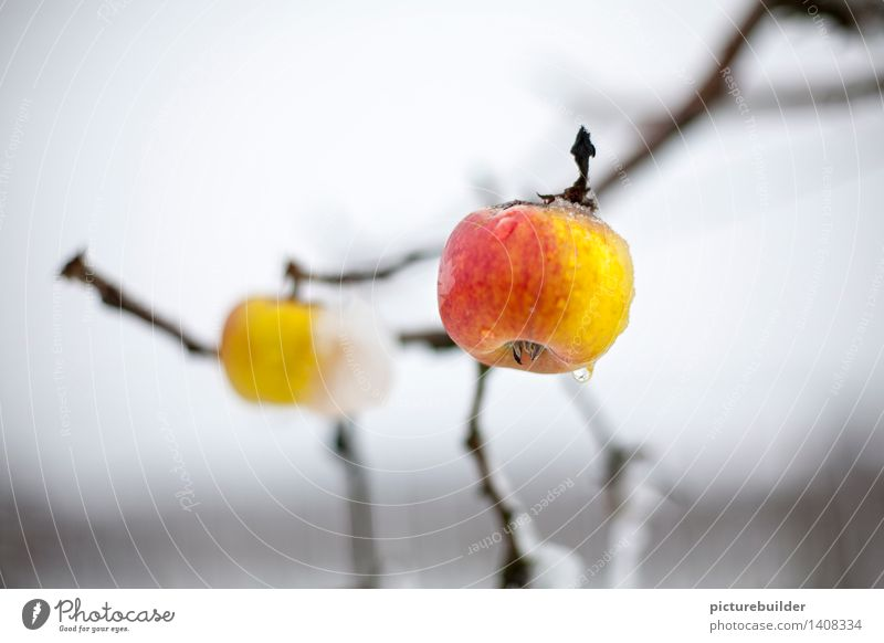 got caught Food Fruit Apple Nutrition Healthy Eating Garden Agriculture Forestry Autumn Winter Apple tree Field Hang Wait Yellow Red White Loneliness Survive