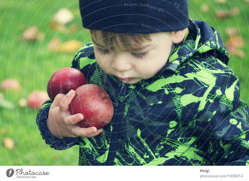 little boy in black-green jacket holds two thick red apples in his hand and looks down Fruit Apple Organic produce Human being Masculine Child Toddler