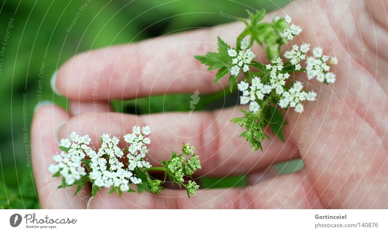 Soft green Beautiful Skin Harmonious Senses Summer Feminine Woman Adults Hand Fingers Nature Plant Spring Flower Blossom Touch To hold on Fresh Green White