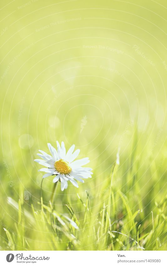 Goose (memorial) flower Environment Nature Plant Spring Flower Grass Blossom Garden Meadow Growth Bright Warmth Green White Colour photo Multicoloured