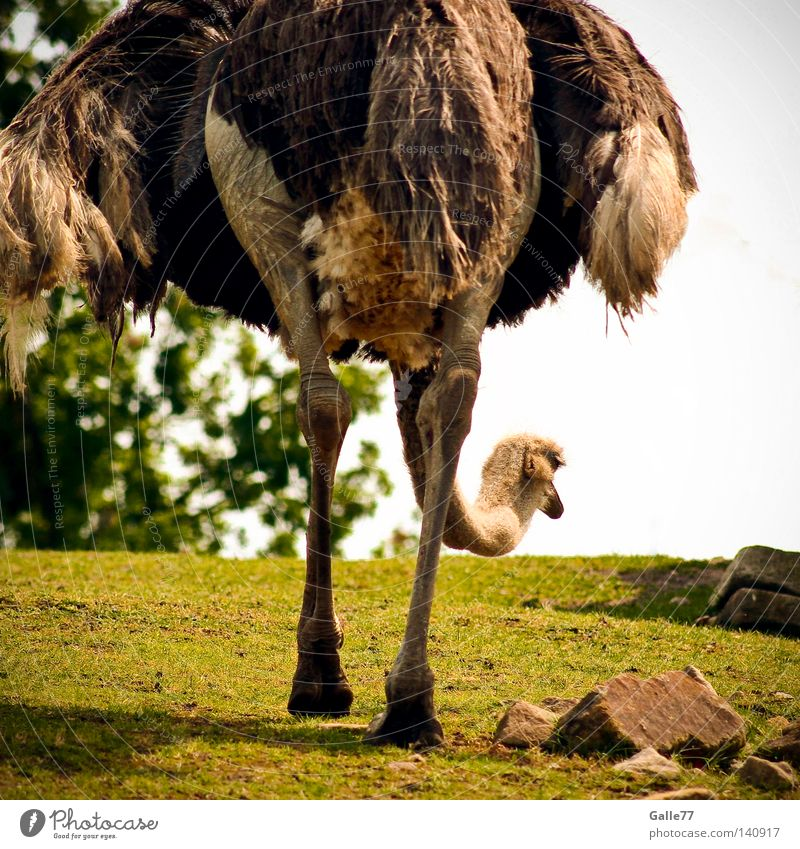 Animal Loneliness Happy Legs Bird In pairs Speed Posture Feather Dress Long Africa Deep Partner Direction Barn fowl