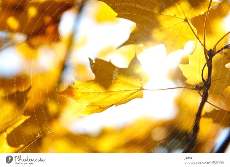 sunday weather Plant Sunlight Autumn Beautiful weather Tree Leaf Forest Illuminate Bright Natural Yellow Gold Nature Colour photo Exterior shot Close-up