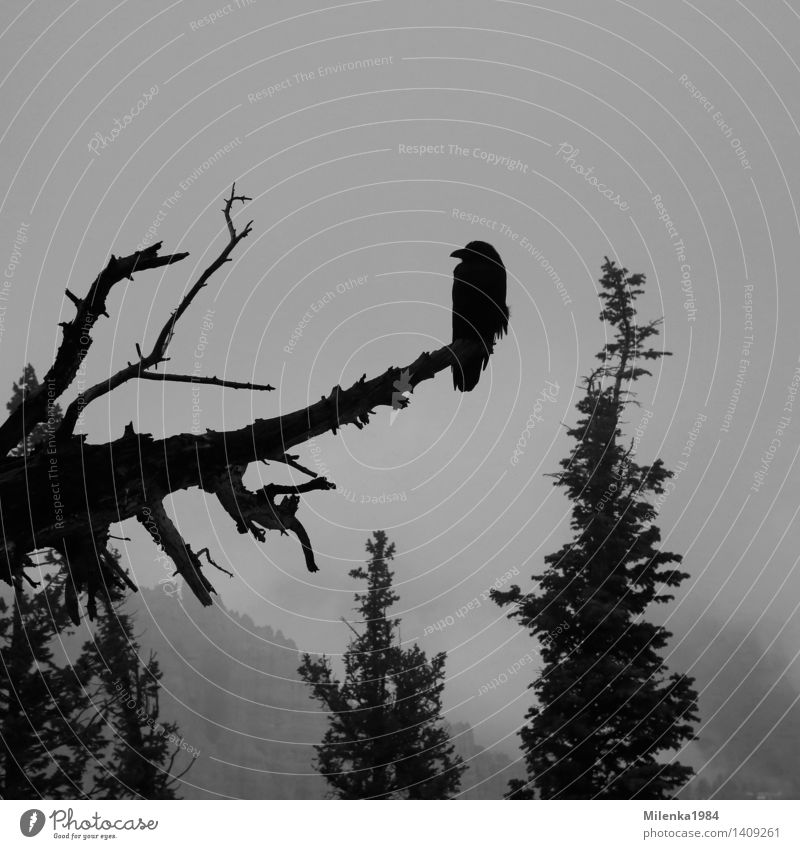 crow Nature Landscape Plant Animal Sky Clouds Weather Fog Forest Bird 1 Infinity Creepy Gloomy Crow Raven birds USA Americas Bryce Canyon Black & white photo
