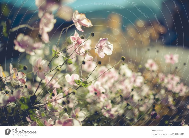 Nature Plant Beautiful White Leaf Blossom Autumn Style Garden Moody Bright Pink Glittering Illuminate Elegant Gold