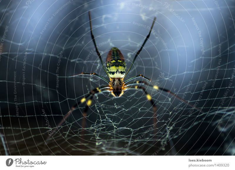 arachnophobia Vacation & Travel Spider 1 Animal Dark Gigantic Wild Blue Multicoloured Yellow Red Fear Horror Fear of death Adventure Risk Tradition Asia kalaw