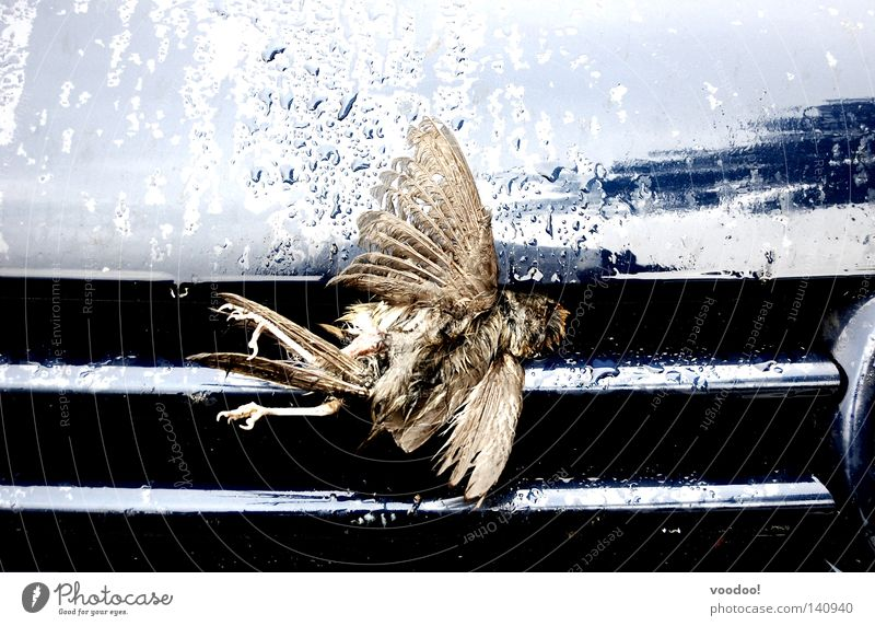Death went too fast. The Grim Reaper Service Bird Car Hard Accident Flying Flytrap Unable to fly Harbinger of death dead bird no natural death ciao Aviation