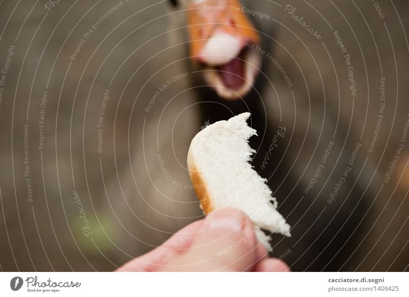 And... access Bread Toast Fingers Animal Wild animal Goose 1 To feed Feeding Simple Brash Friendliness Happiness Delicious Funny Curiosity Cute Brown Orange