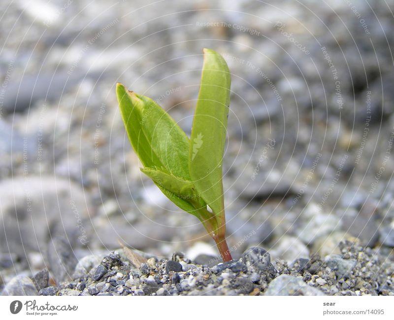 solitary Plant Gravel Green Gray Stone Olympus