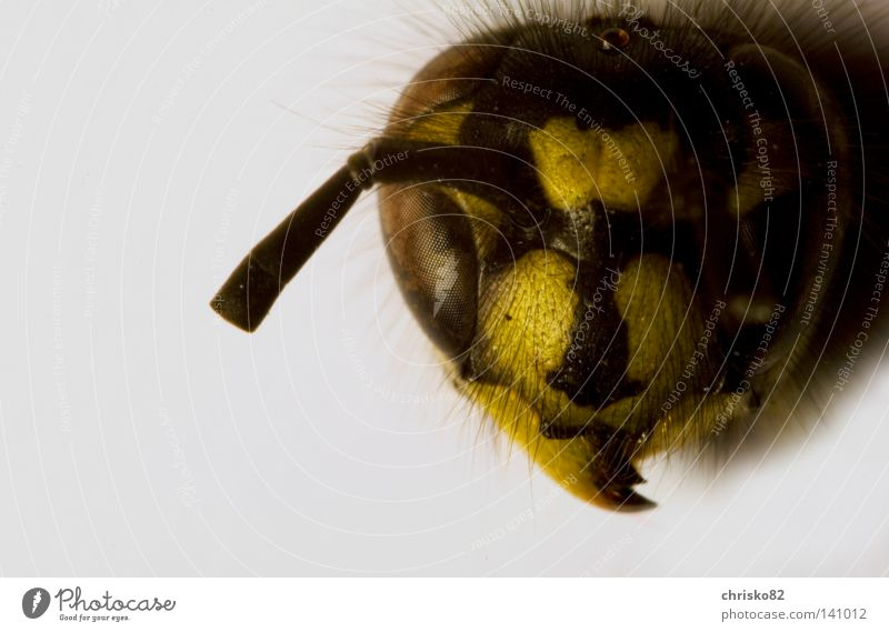 Black Yellow Death Eyes Hair and hairstyles Head Fear Flying Dangerous Threat Bee Insect Appetite Pain Evil