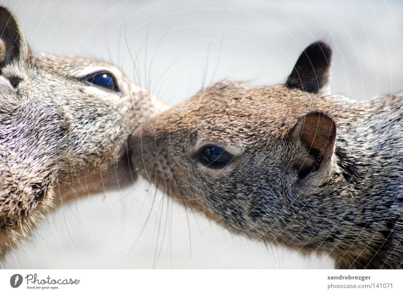 brotherly love Squirrel Rodent Kissing Animal Caresses Affection Pushing Embrace Love Lovers Touch Romance Together Relationship Intuition Trust Animalistic
