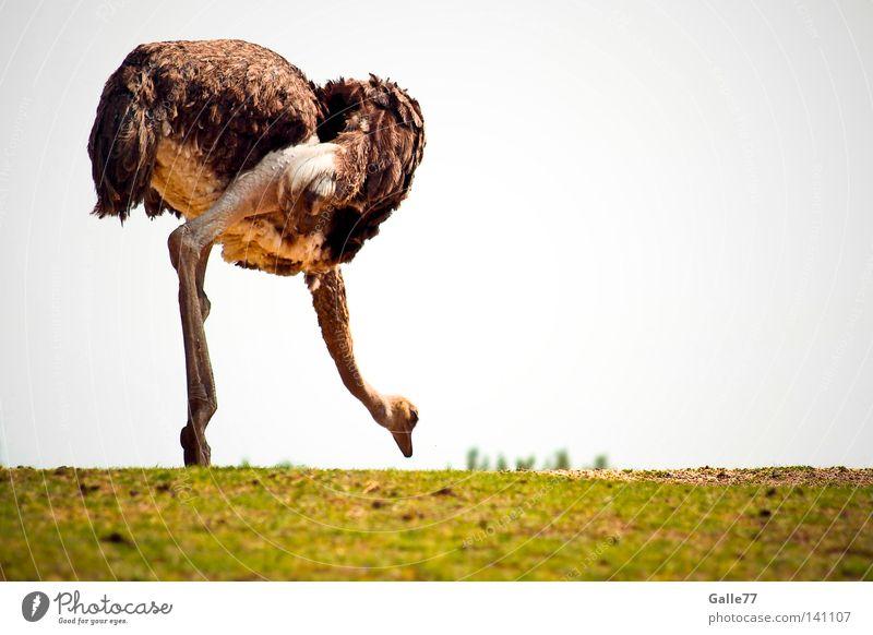 Bend over!!! Africa Deep Direction Animal Flightless bird Bird Dress Barn fowl Long Posture Speed Contentment Bouquet Looking Feather Legs Center of gravity